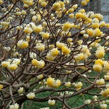 Edgeworthia chrysantha - Rare Daphne like Shrub in 9cm Pot