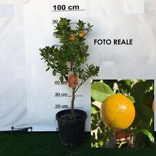 PIANTA ALBERO KUMQUAT GIGANTE DI HONG KONG vaso 24 CM agrumi di sicilia h 100 cm