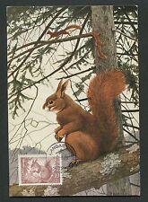 FINNLAND MK 1953 FAUNA EICHHÖRNCHEN SQUIRREL MAXIMUMKARTE MAXIMUM CARD MC d4787