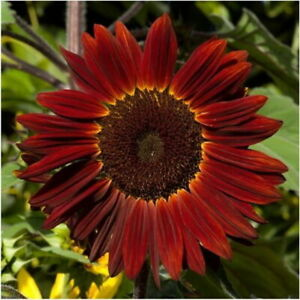 75 Sunflower Seeds 'Rouge Royale' Flower Helianthus annuus Red/Brown Comb S/H