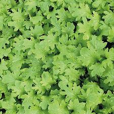 300 Graines non traité Moutarde Japonaise WASABI-NA salade roquette gout Wasabi