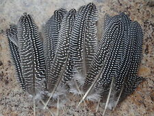 * Natural Spotted Guinea Quill (2) Small Smudging Feather Rituals Wicca Pagan
