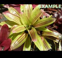 bromeliad neoregelia amazing grace live plant