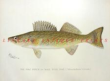 PIKE PERCH YELLOW WALLEYE PICKEREL ~ Old 1902 Sherman Denton GAME FISH Art Print