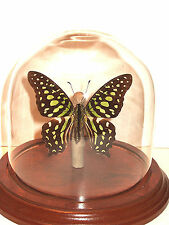 Tailed Jay Butterfly Dome  (Graphium agamemnon)