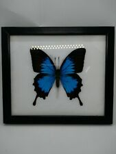 Blue Emperor Ulysses papilio Ulysses Butterfly Starve in Frames Collectibles