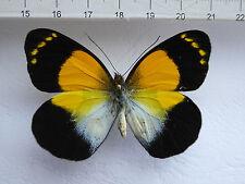 butterflies, Delias arfakensis Weibchen ex Anggi , Irian Jaja, Indonesien n23