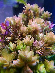 Rare Rotala Tulunadensis Live Aquarium Aquatic Plant Plants