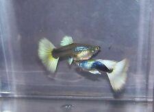 Half Black Pastel Fancy Guppies ** 1 pair ** Tropical Freshwater Fish