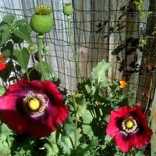 Poppy- (Papaver Somniferum)- Pepperbox- 200 Seeds