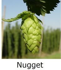"1x HOPS 4"" pot * NUGGET * ( Home brewing perennial plant hop bine vine"