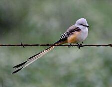 METAL REFRIGERATOR MAGNET Scissor Tailed Flycatcher State Bird Oklahoma Birds