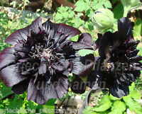 🔥 Stockrose schwarz gefüllt ** Tolles Geschenk * 20 Samen