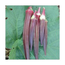VEGETABLE  OKRA  BURGUNDY  150 SEEDS
