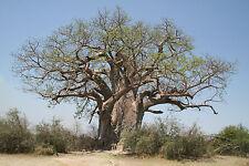 4 Graines - Baobab - ADANSONIA MADAGASCARIENSIS - Arbre de Madagascar