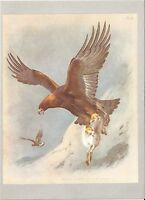 Golden Eagle - 1967 Bird Print by Archibald Thorburn #22