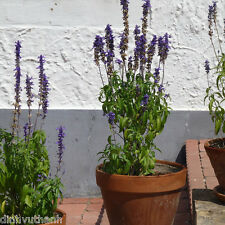 Dwarf French Provence Lavender Plant Seeds - 200 Seeds