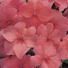 Fleur-Impatiens-Nouvelle Guinée-Divine Scarlet Red F1-160 graines-Gros emballage