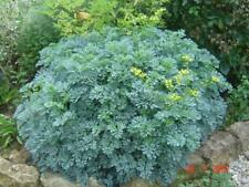 More details for common rue or herb of grace - ruta graveolens -medicinal herb x 3 potted plants
