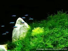 Java Moss-Molly Endlers Brackish Fish Fern Tank Plant