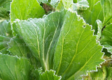 poterb mustard Green Vegetable seed 50seeds Brassica juncea garden patio balcony