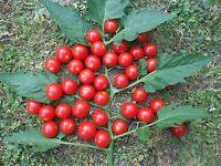 10 Samen Mexikanische Honigtomate  Zuckersüß - Ertragreiche und robuste Tomate