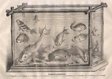 Acquario giapponese 1872 Pesci litografia