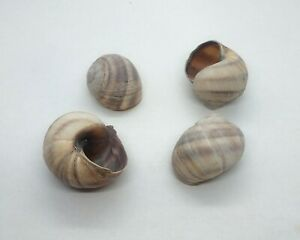 15 Slightly Imperfect/Damaged Shells for Shelldwelling Cichlids, Shell dwellers