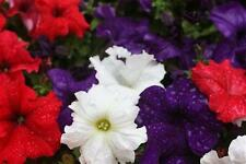 Petunia Dreams Patriot Mix Seed Very Large Flowers Annual