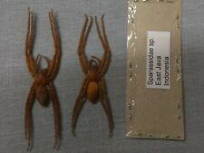 2 Spiders full data sparassidae species 3 1/2 inches A 1 ready to mount