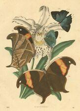 Exotische Falter, Thecla Atys, Caeris Arcesila, altkolorierte Lithographie 1867