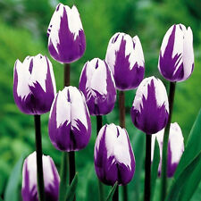 200Pcs Purple White Tulip Seed Rare Flower Plants Seeds Home Garden Decor Seeds
