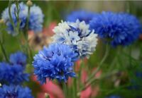 Garden Exotic Plants Rare Flowers Blue Cornflower Ornamental 50PCs Seeds Flower