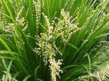 20 x Lomandra hystrix Slender Mat Rush native grass plants in 40mm pots