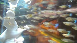 JUST GIRLS ($20 for 20  FEMALE GUPPIES) Lovely Little Ladies (GROW FAST) U.S.A