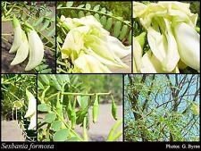 White Dragon Tree - Sesbania formosa - 40 Seeds