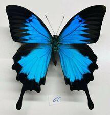 Papilionidae papilio ulysses mâle XXL mounted ceram