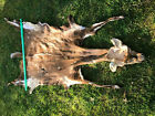 AFRICA BUSHBUCK tanned Lifesize skin=TAXIDERMY Mount, No Horns/ African Hunting2