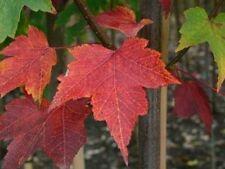 Autumn Chalk Partial Shade Deciduous Plants, Seeds & Bulbs