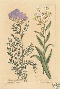 Edizioni Fiorella Falteri Florence hand color print English sneezewort botanical