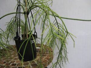 Rhipsalis Baccifera R34 (8-10cm Cutting) Epiphyllum Cactus