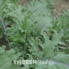 Kale - Red Russian - 100 seeds + Free Gift