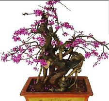 Judas Redbud tree, Ideal for Bonsai! Fresh seeds, Hardy outdoor tree/shrub