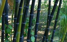 100 Fresh and Rare tree Phyllostachys Nigra Clumping Bamboo Seeds Black-Bamboo