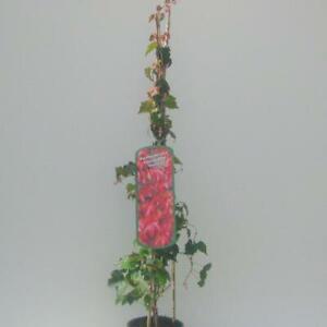 Jungfernerbe, Wilder Wein Parthenocissus tricuspidata 'Veitchii'