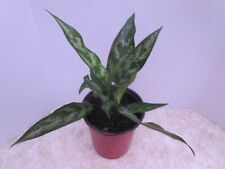 Maria Chinese Evergreen Plant - Aglaonema - Low Light - Bare Root
