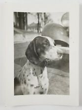 Snapshot Photograph German Shorthaired Pointer Dog Sitting Outside