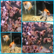 8 X Orange Koi Angelfish - Pre Dime Sized