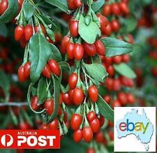 100 X GOJI BERRIES - WOLFBERRIES - BONSAI / TREE SEEDS