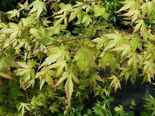 3 Japanese Maple Plants / Acer Palmatum 40-60cm Tall, Stunning Autumn Colours